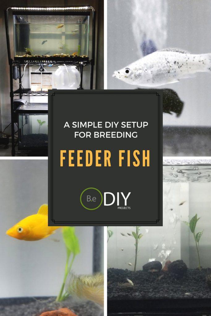 easy feeder fish diy breeding setup