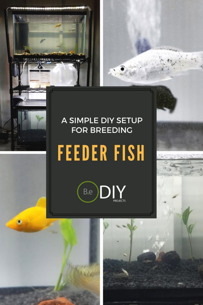 easy feeder fish diy breeding setup