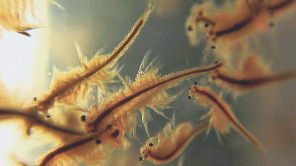 multiple brine shrimp up close