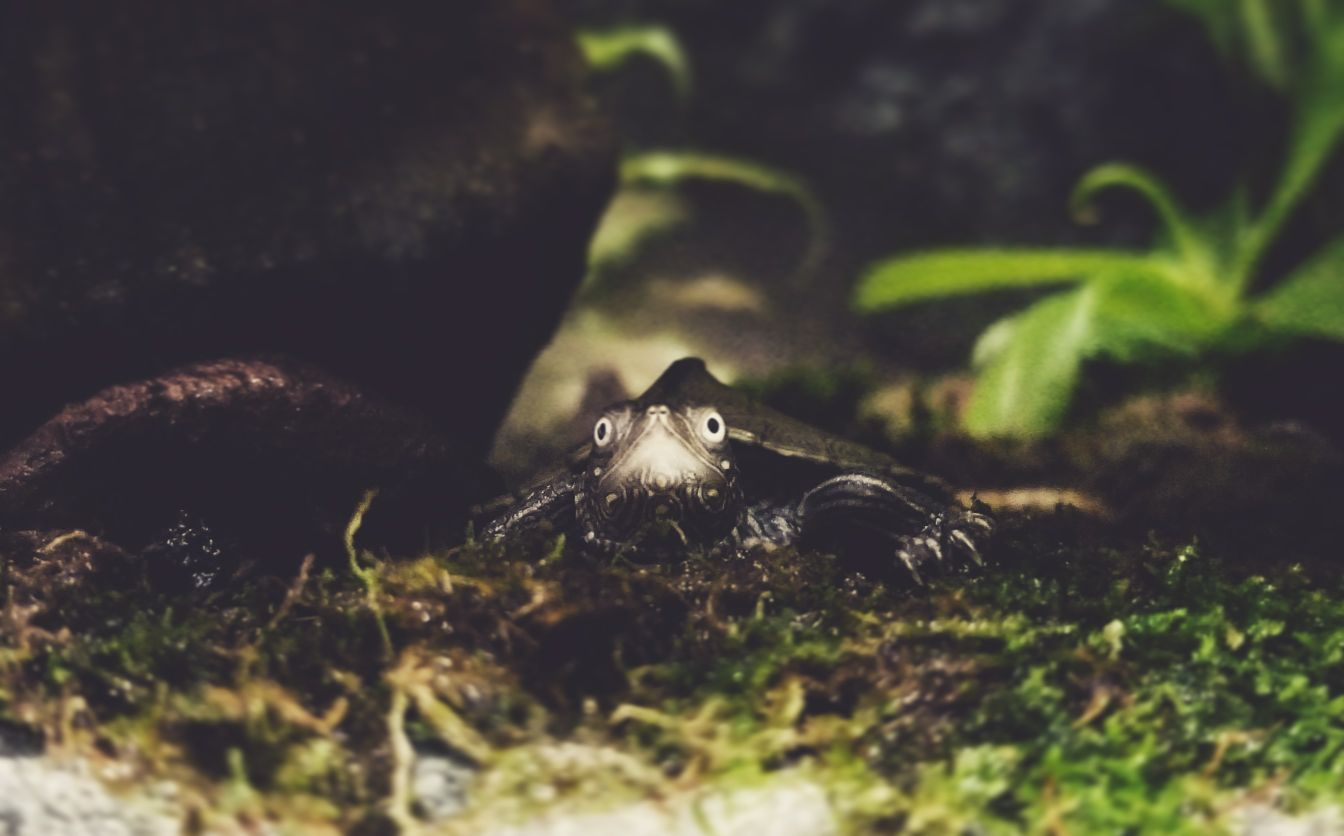Map Turtle staring from edge of paludarium