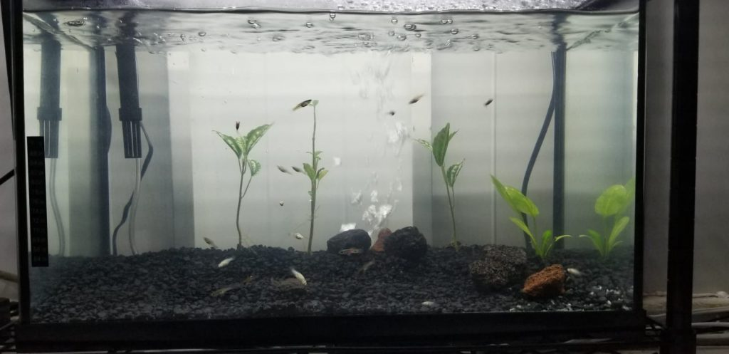 mollies planted aquarium