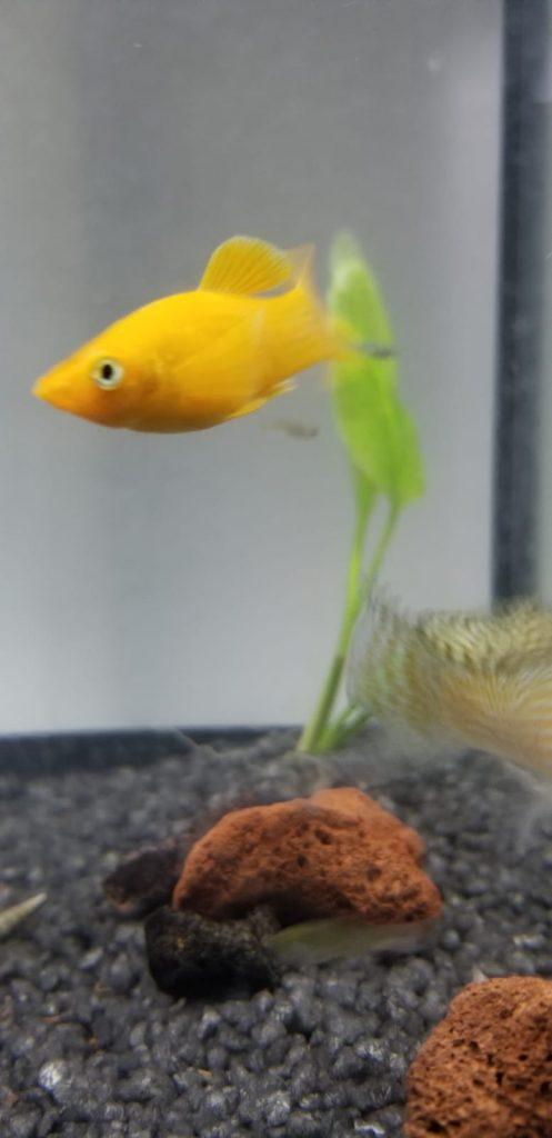 male orange molly in aquarium