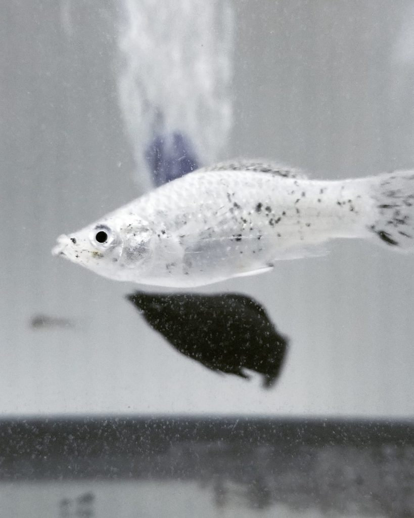 pregnant dalmatian molly