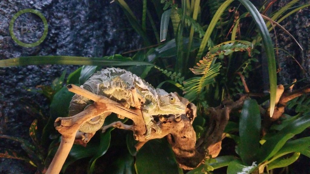 shedding chameleon in paludarium