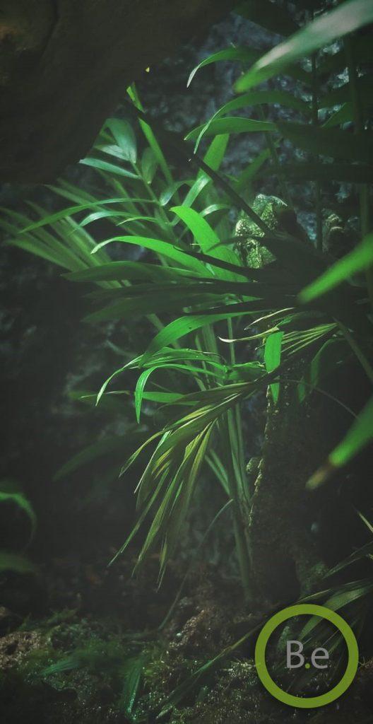 female jackson chameleon hiding between tropical plants