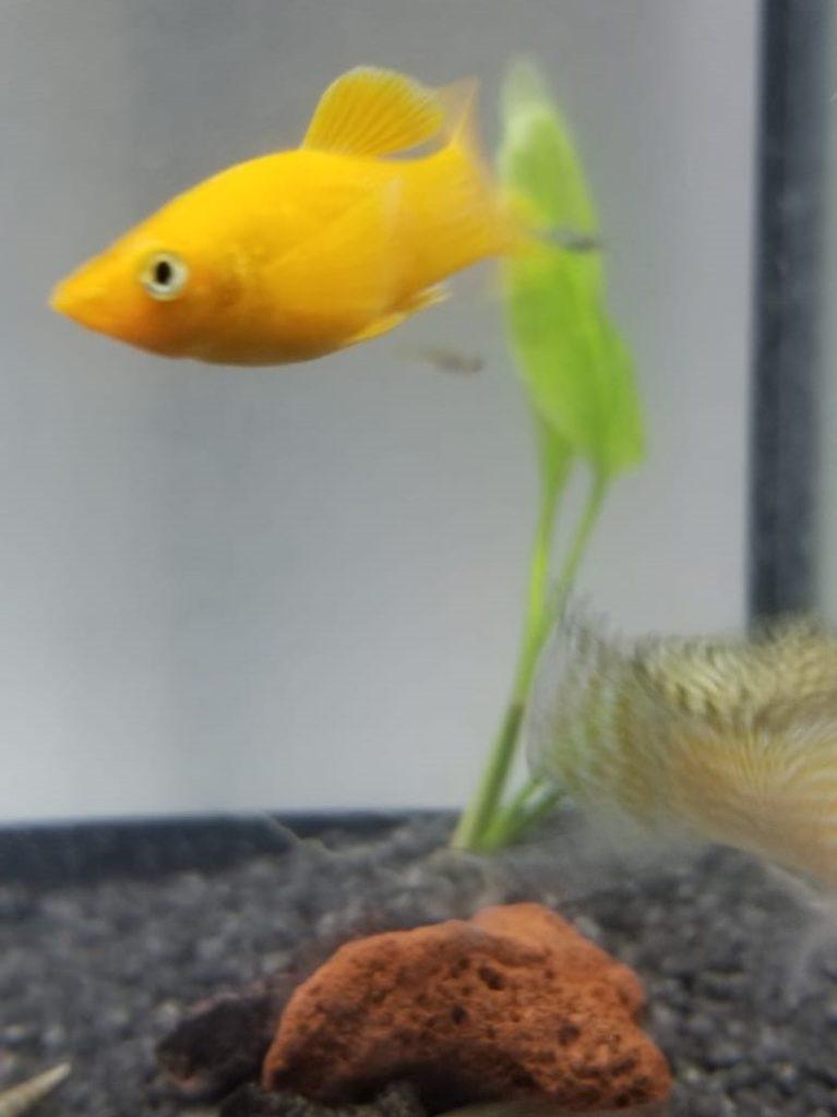 orange male molly fish swimming