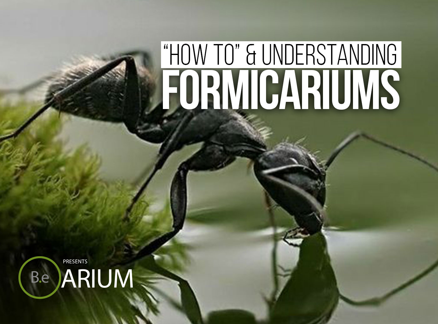 Formicarium (Ant Farm) Care Guide