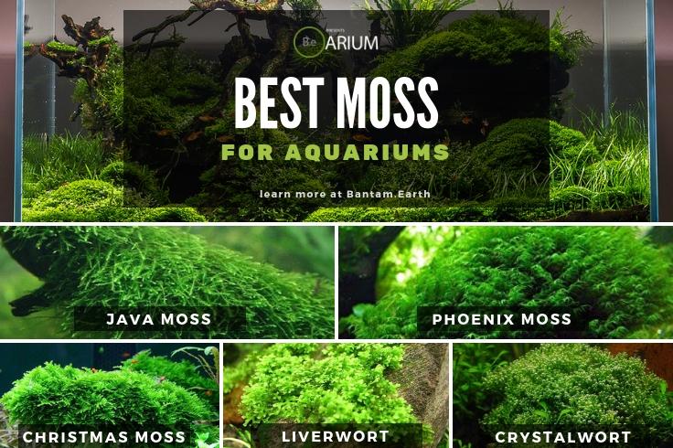 Best Moss For Aquariums