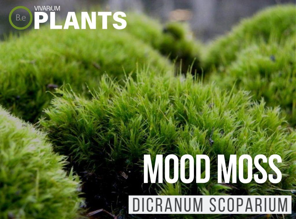 Mood Moss Dicranum Scoparium Thumbnail
