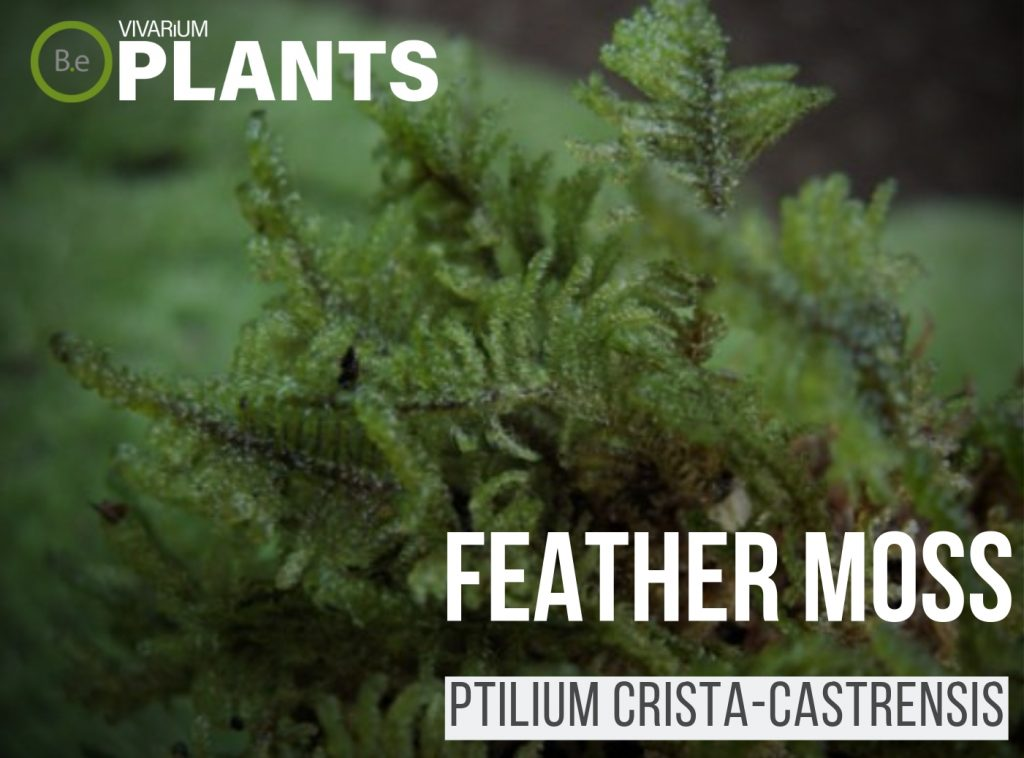feather moss Ptilium crista-castrensis