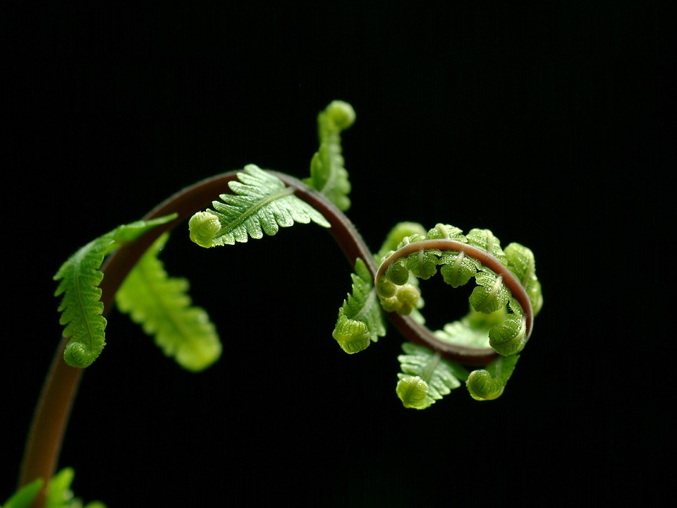 fern growing