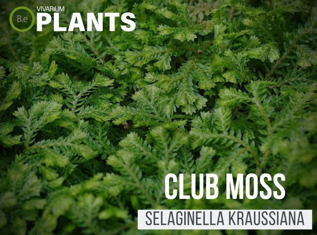 Club Moss Selaginella kraussiana