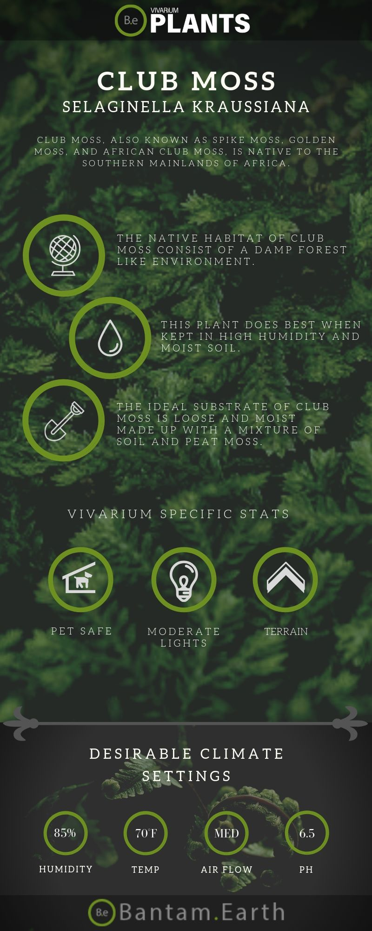 Club Moss Selaginella kraussiana care guide