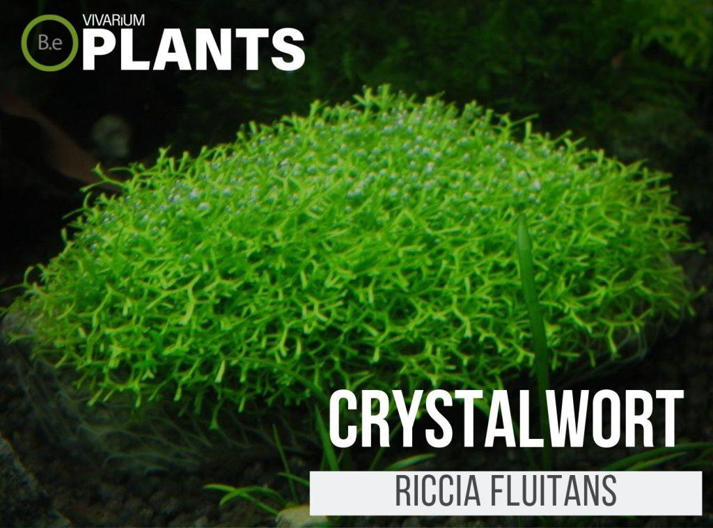 Crystalwort Riccia Fluitans