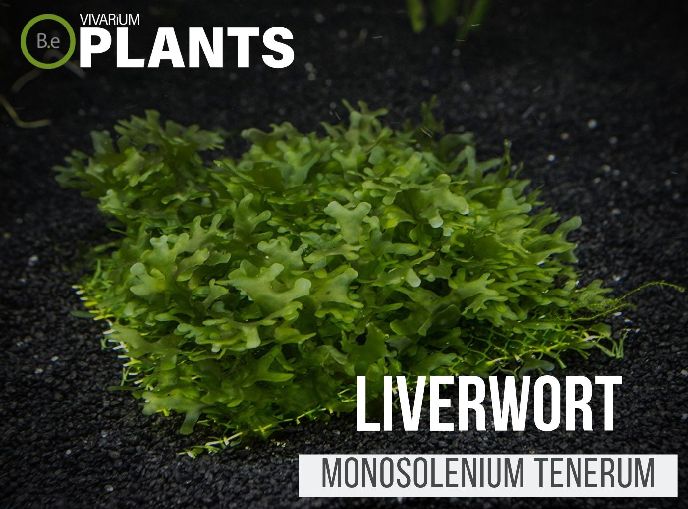 Liverwort Monosolenium Tenerum