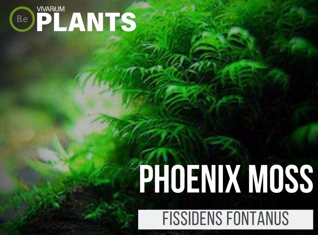 Phoenix Moss Fissidens Fontanus