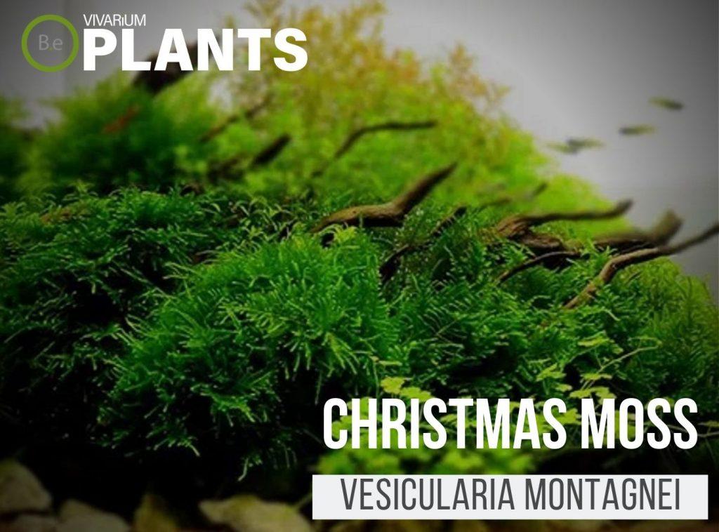 christmas moss Vesicularia Montagnei