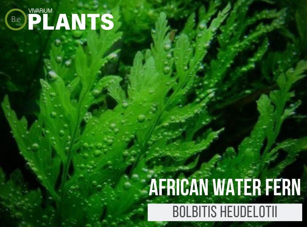 African Water Fern (Bolbitis Heudelotii)