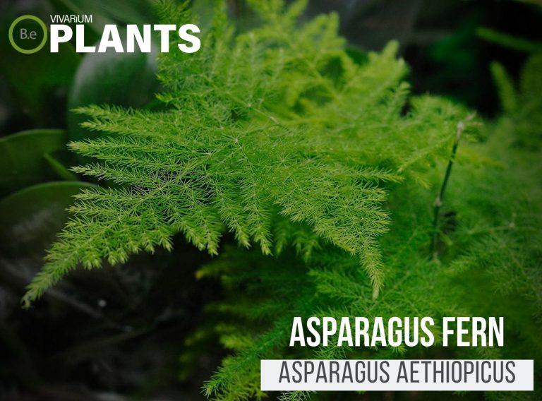 Asparagus Fern (Asparagus Aethiopicus)