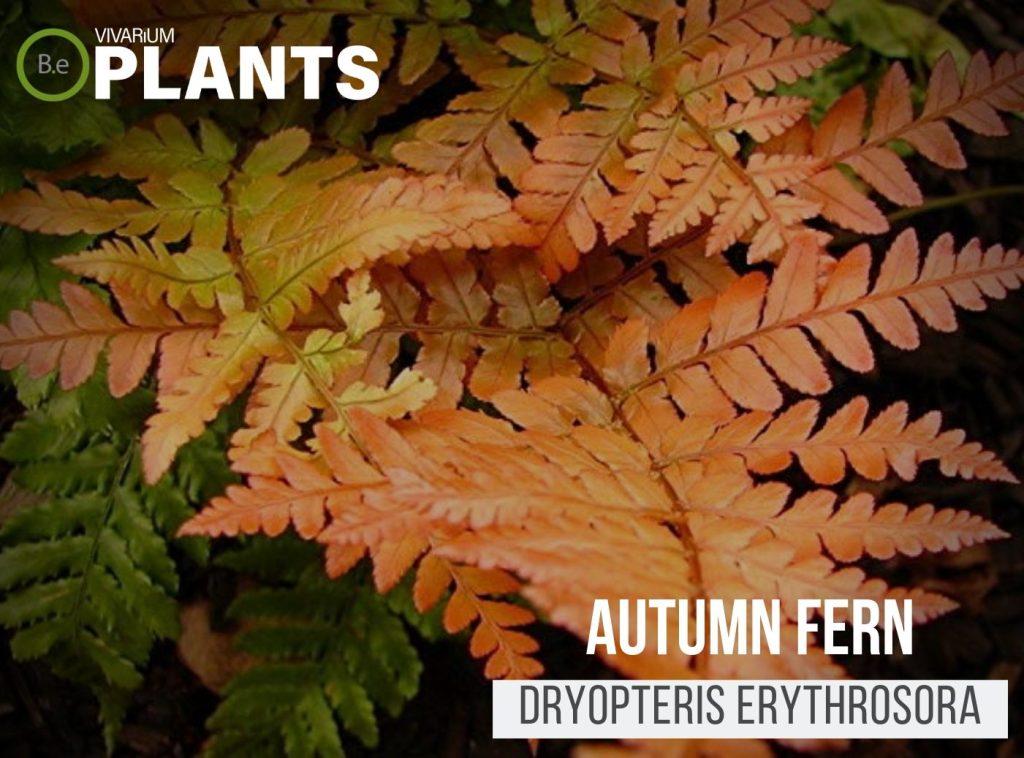 Autumn Fern (Dryopteris Erythrosora)