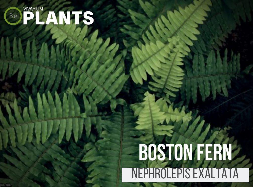 Boston Fern (Nephrolepis Exaltata)