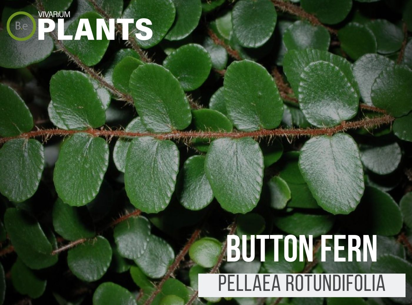 Button Fern (Pellaea Rotundifolia)