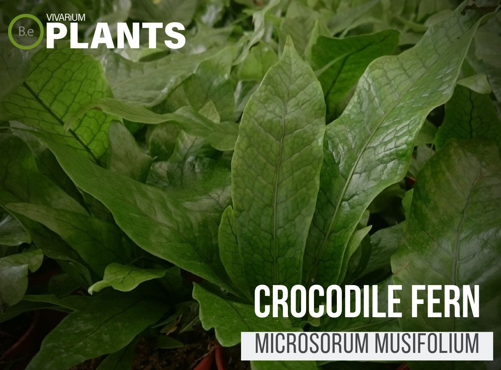 Crocodile Fern (Microsorum musifolium 'Crocodyllus')