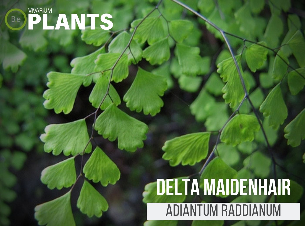 Delta Maidenhair Fern (Adiantum Raddianum)