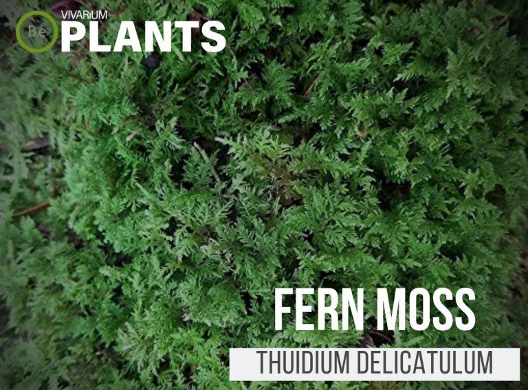 Fern Moss Thuidium delicatulum