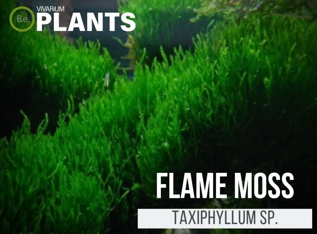 Flame Moss Taxiphyllum sp