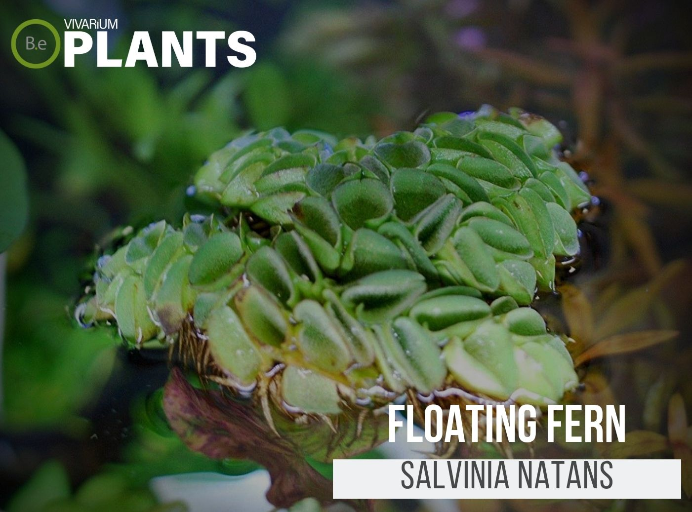 Floating Fern (Salvinia Natans)