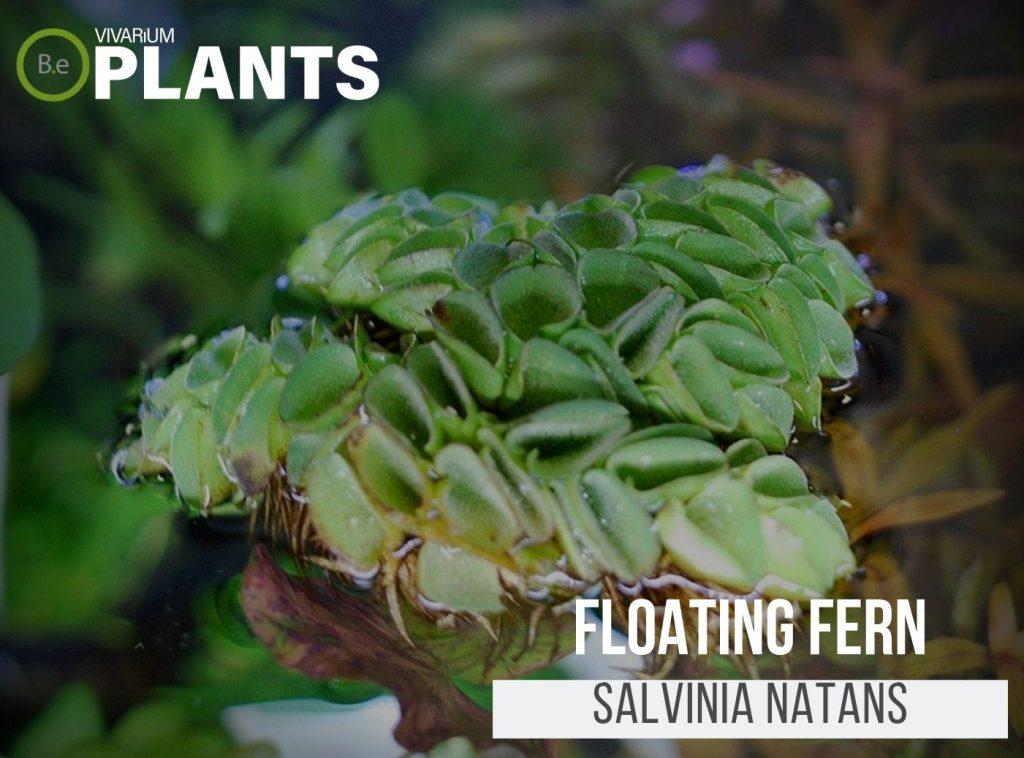 Floating Fern (Salvinia Natans)