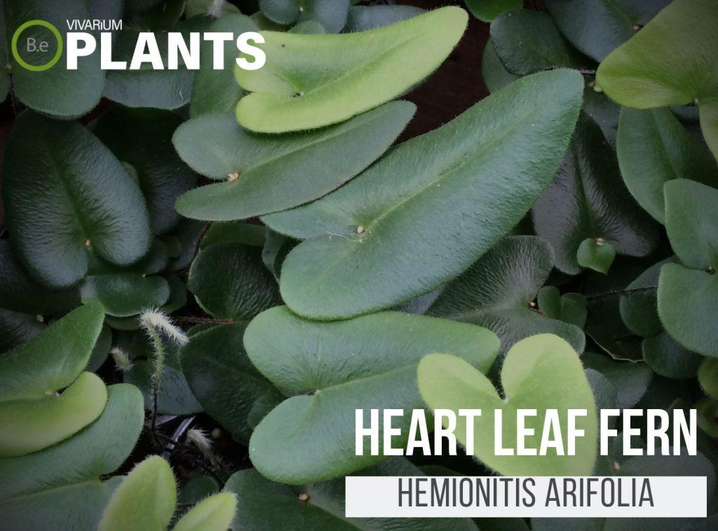 Heart Fern (Hemionitis Arifolia)