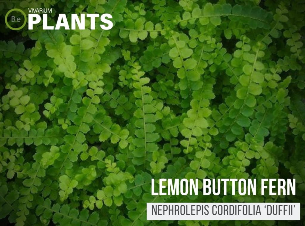 Lemon Button Fern (Nephrolepis Cordifolia 'Duffii')