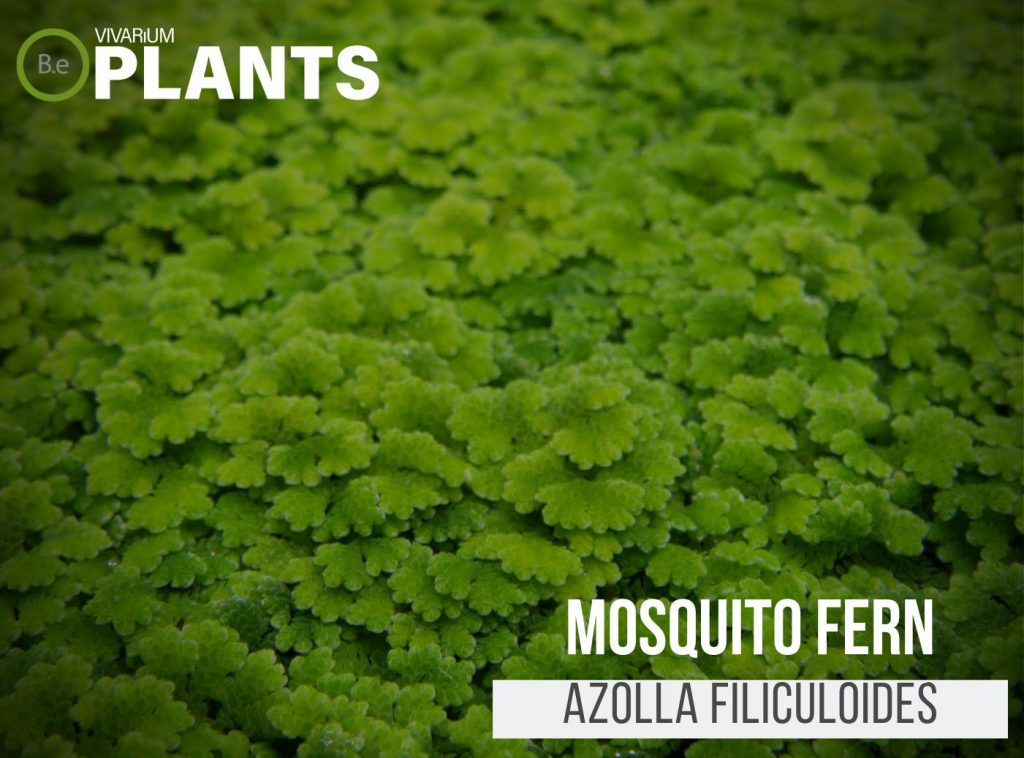 Mosquito Fern (Azolla Filiculoides)