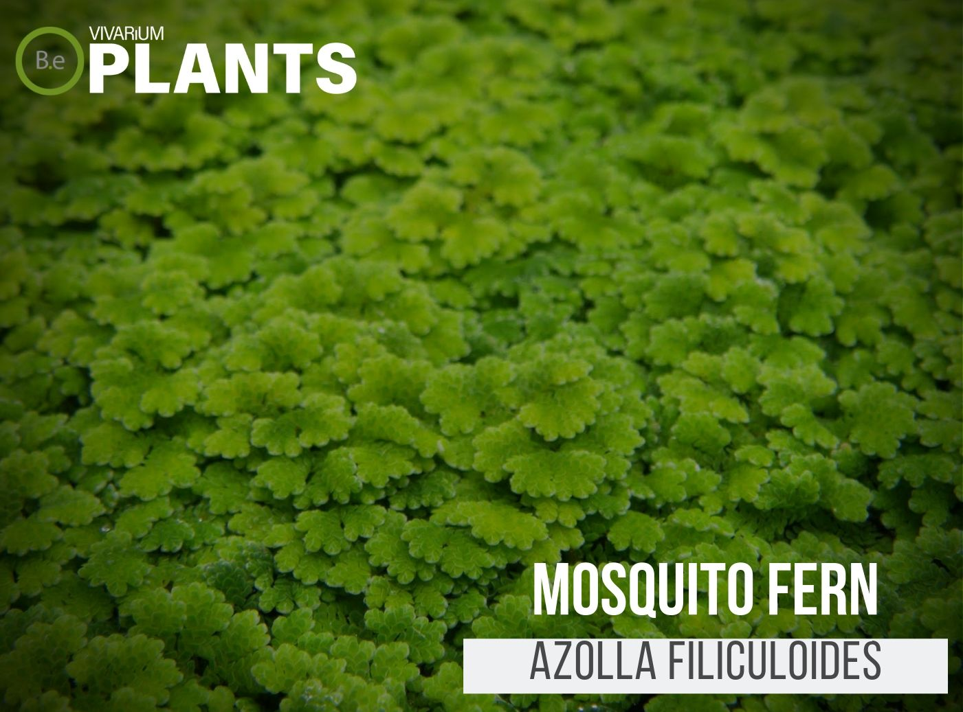 Mosquito Fern (Azolla Filiculoides)