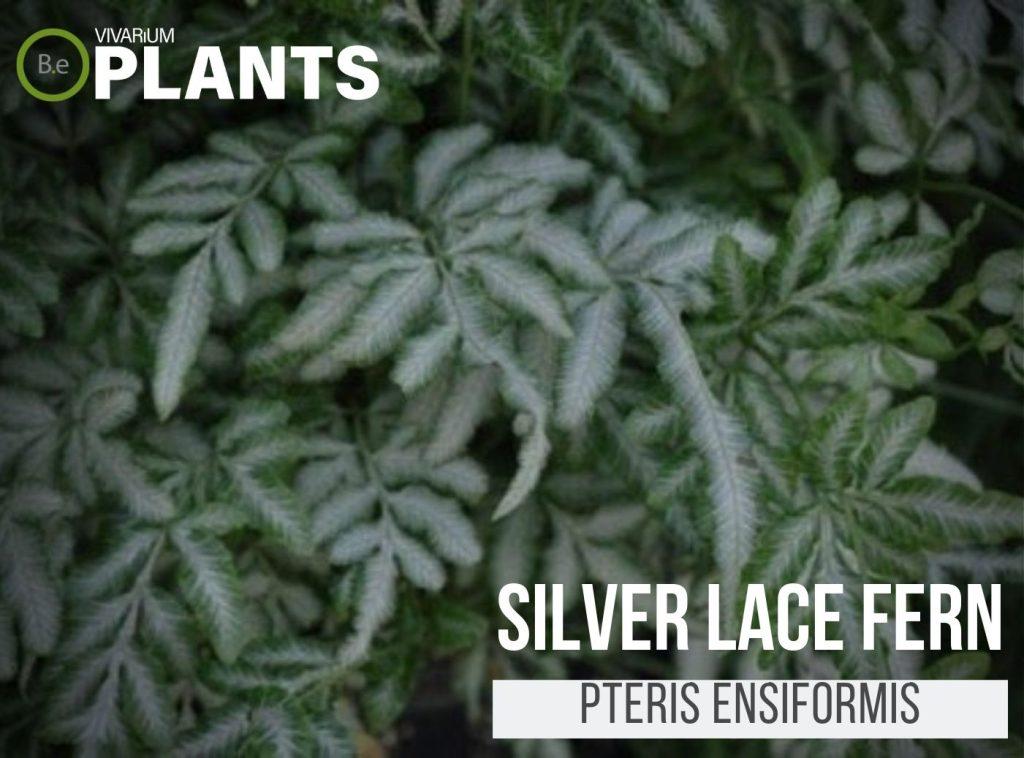 Silver Lace Fern (Pteris Ensiformis)