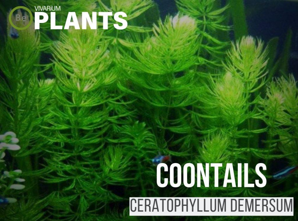 coontails hornworts (Ceratophyllum Demersum)