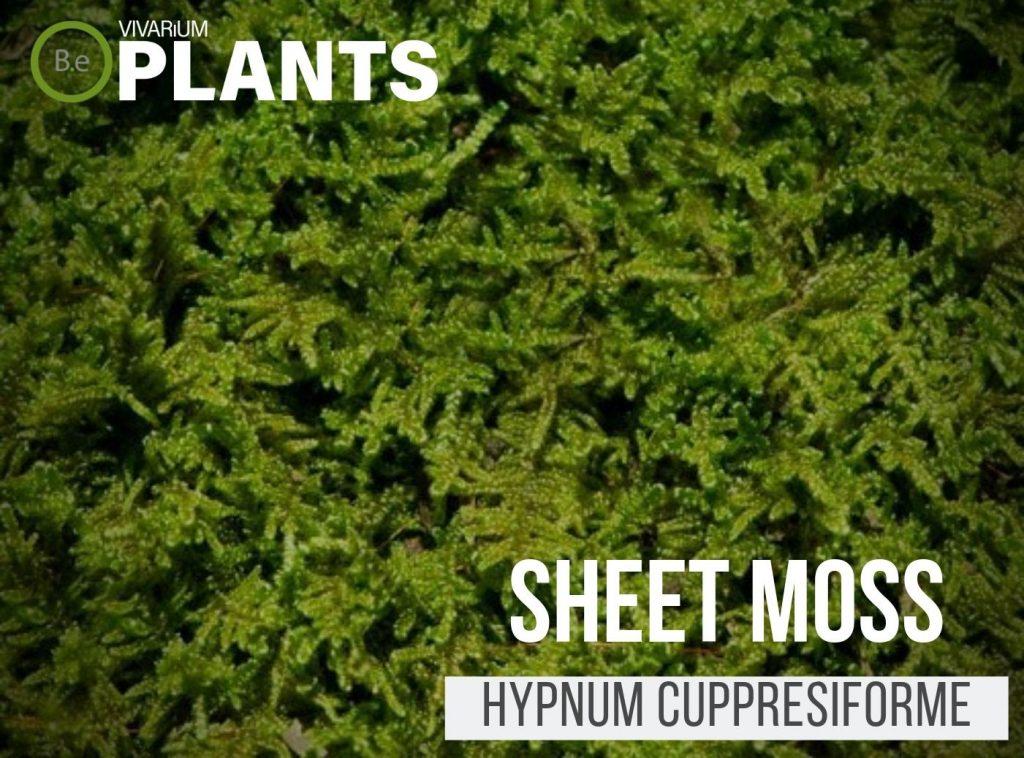 Sheet Moss (Hypnum Cuppresiforme)