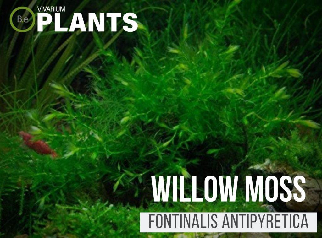 Willow Moss (Fontinalis Antipyretica)