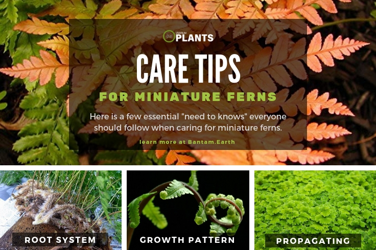 Care tips for mini ferns
