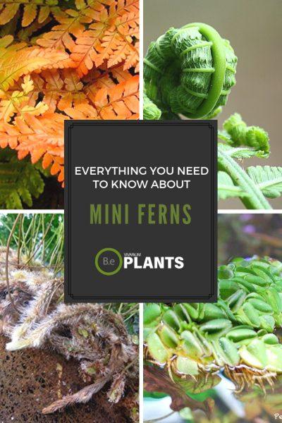 Miniature ferns