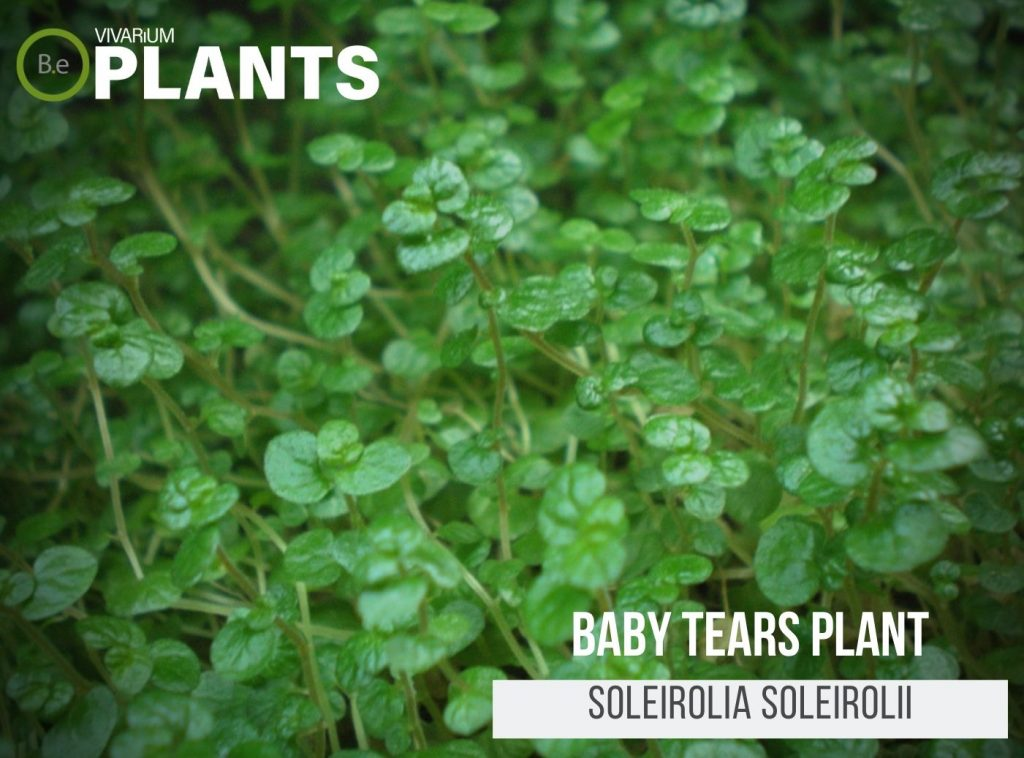 Baby Tears Plant (Soleirolia Soleirolii)