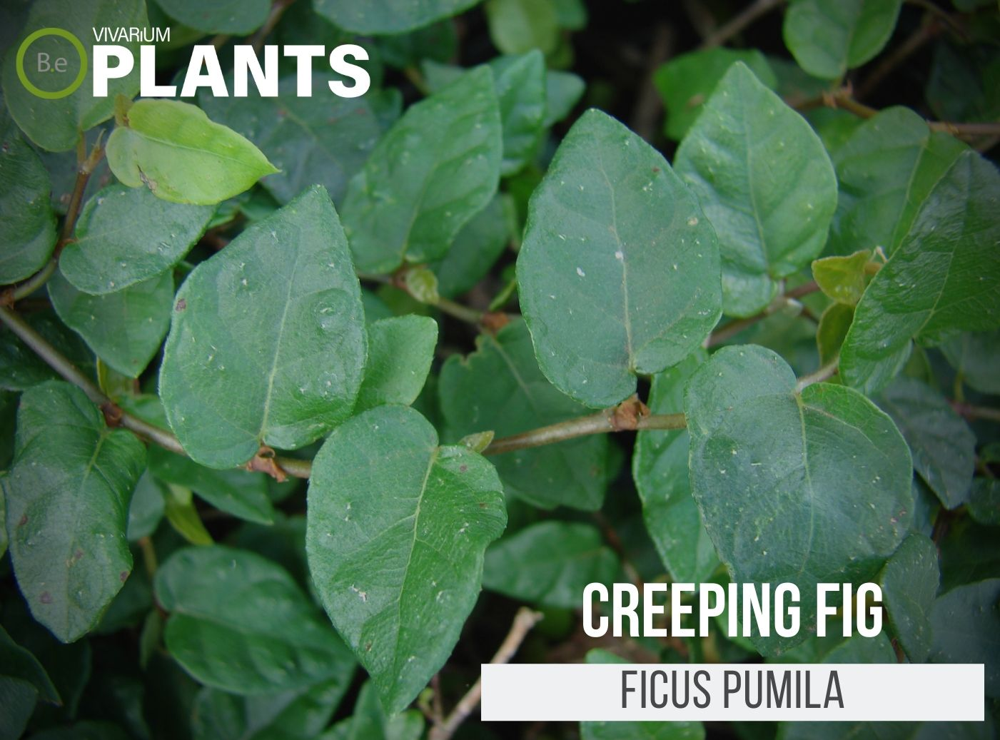 Creeping Fig (Ficus Pumila)
