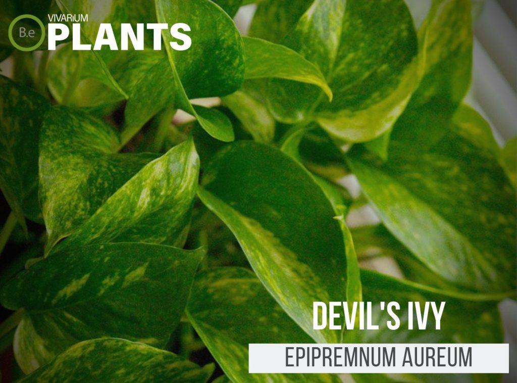 "Golden Pothos ""Devil's Ivy"" (Epipremnum Aureum)"