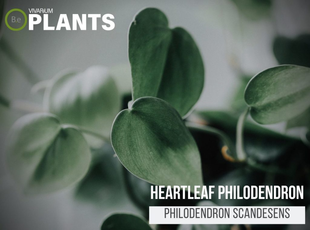 Heartleaf Philodendron (Philodendron Scandesens)