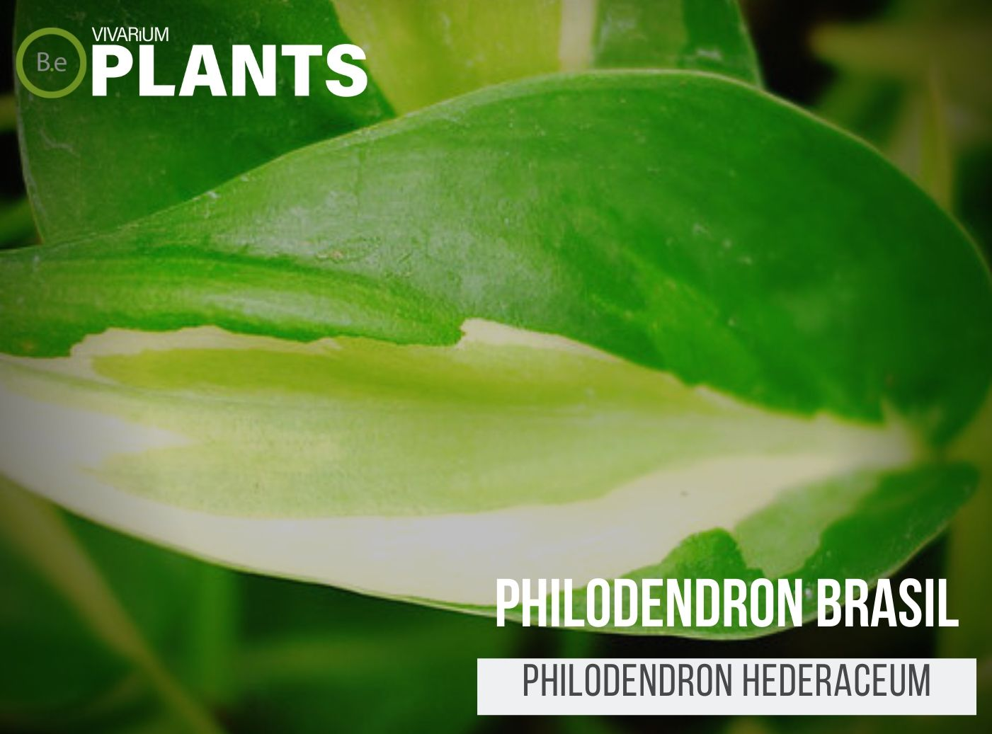 Philodendron Brasil (Philodendron Hederaceum)