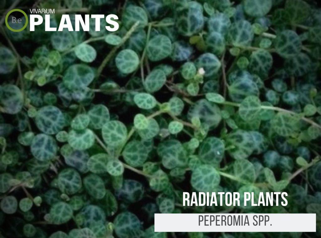 Radiator Plants (Peperomia Spp.)