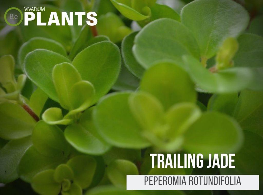 Trailing Jade (Peperomia Rotundifolia)