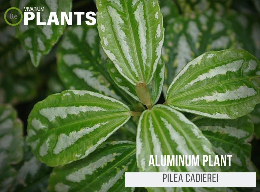 Aluminum Plant (Pilea Cadierei)